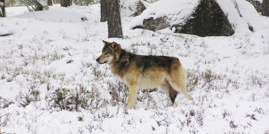 IKKE GODKJENT: Det blir kun tatt ut én ulveflokk i lisnesjakta som starter 1.januar 2020. Vedtaket fra rovviltnemdene om å felle totalt tre flokker ble ikke godkjent. Illustrasjonsfoto: Åke Åronson, Skandulv