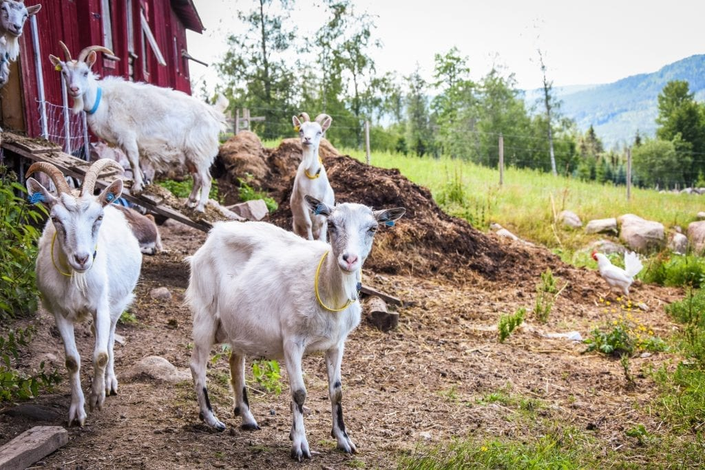 MANGFOLD: Furuberg håper å få med flere lokale bønder på prosjektet. Foto: Finnskogmat