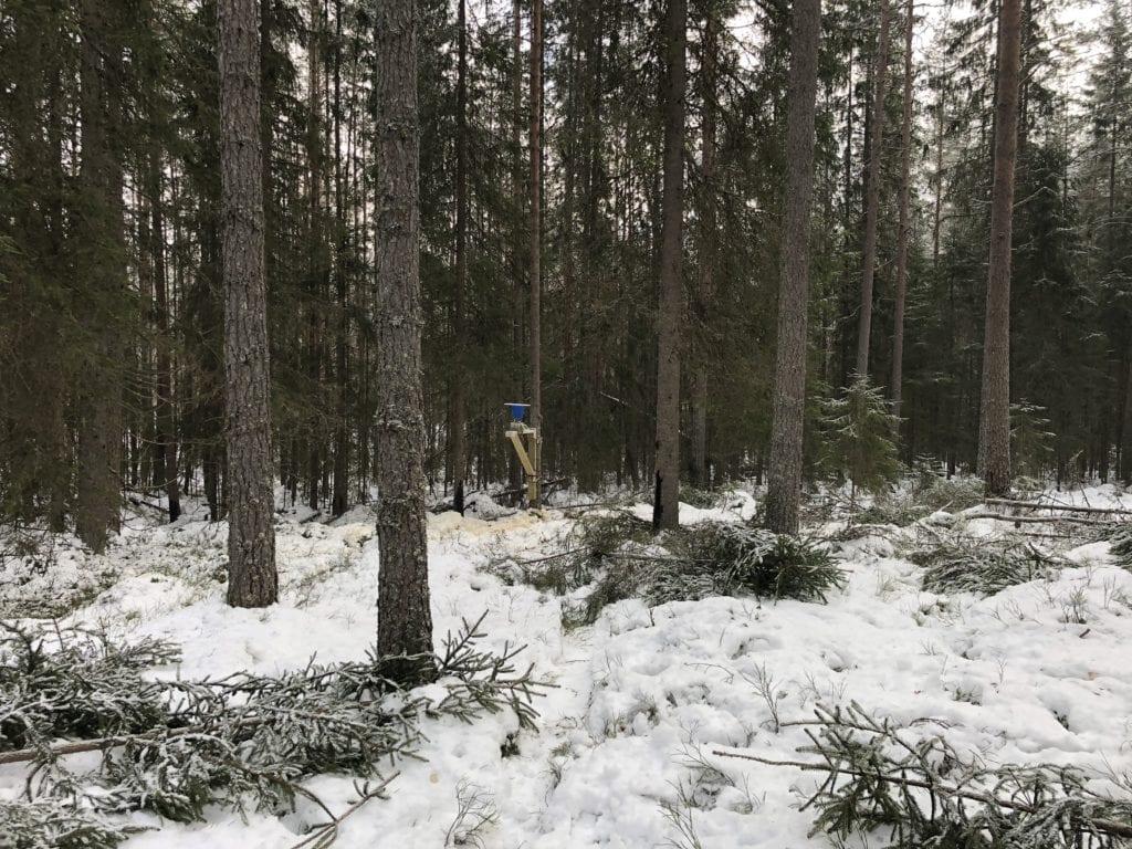 LOKKES: Med mais lokkes forhåpentligvis villsvinene frem i skogen ved Sønsterud.